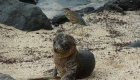 Sealion baby on the Galapagos Island