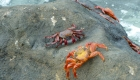 Crabs on the Galapagos Islands
