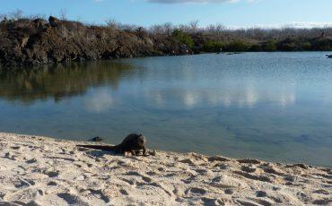 Observa diferentes especies de iguanas en las playas de Galapagos.