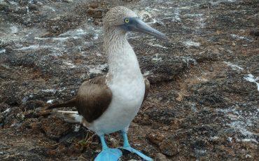 El piqueo patas azules es un pajaro tipico en las islas Galapagos.