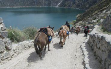 Caballos ayudan a cargar el equipaje durante un trekking del quilotoa loop.