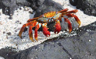 En las rocas de las islas Galapagos viven cangrejos coloridos.