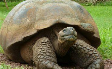 Las tortugas gigantes de Galapagos pueden tener mucha edad.
