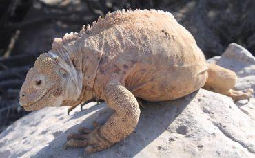 Las iguanas terrestres se puede encontrar por ejemplo en la isla Santa Fe en Galapagos.