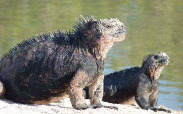En las islas Galapagos viven iguanas marinas e iguanas terrestres.