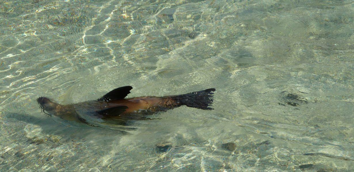 Durante su Island hopping podrá observar los lobos marinos nadando cerca de la playa.