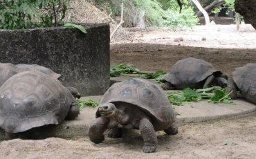 En las Tierras Altas de la isla Santa Cruz podrá observar las tortugas de Galapagos en su habitat natural.