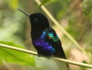 hermosos colibris viven por el bosque nublado de Ecuador