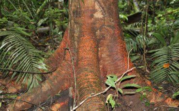 Todavia se encuantran arboles prinarias en el parque nacional Yasuni.