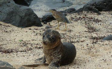 Incluso los bebes de los lobos marinos se puede observar en Galapagos.