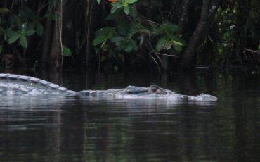 Se puede incluso encontrar caymanes y cocodrilos en el parque nacional Yasuni.