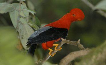 El gallo de la peña es un ave emblematico de Ecuador.
