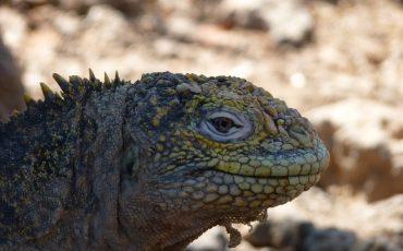 Durante su island hopping tour usted puede observar iguanas terrestres y marinos