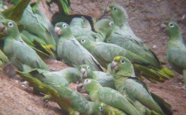Encuentra loros verdes en su saladero en Yasuni.
