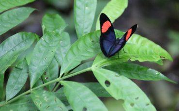 mariposa en el bosque nublado de mindo