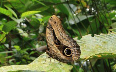 Encuentra mariposas coloridos en el parque nacional Yasuni.