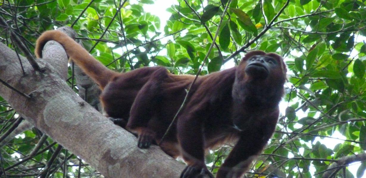 El mono haullador se encuentra en el parque nacional Yasuni.