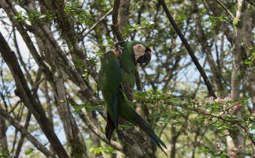Durante su visita de la amazonia podrá ver dieferentes papagallos