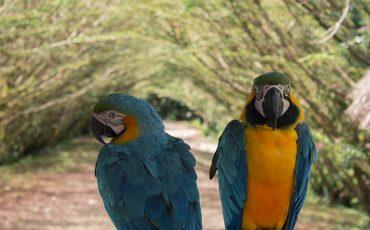 Observa papagallos coloridos en la amazonia de ecuador.
