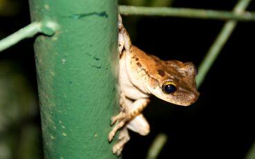En la amazonia se puede encontrar ranas muy pequeñas.