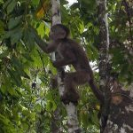 The monkeys in Puerto Misahualy are very tame
