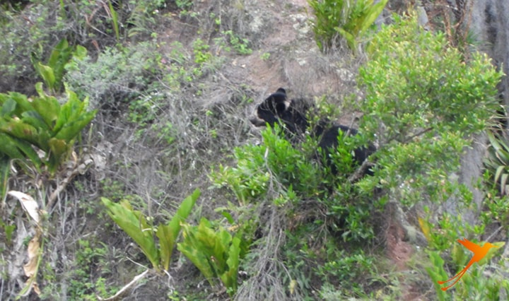 Andean Bears Ecuador
