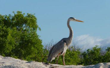 On Bachas Beach at Santa Cruz you can observe a variety of birds.