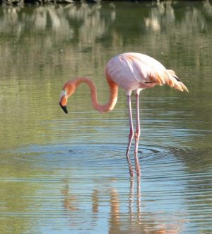 Flamingos can be spottet in a lagoon on Santa Cruz