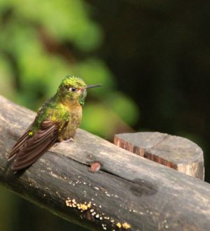 Discover hummingbird species while staying in the luxury Mashpi lodge.