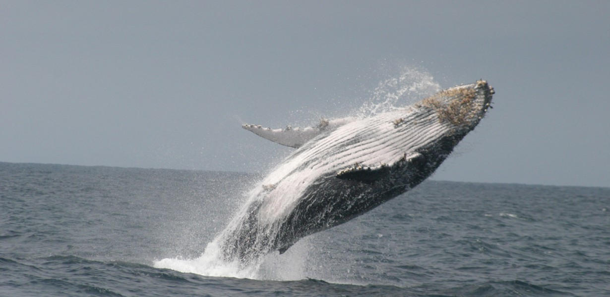 Go on a Whale Tour in the Ecuadorian Coast