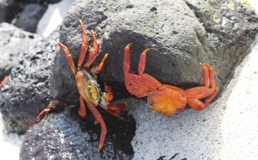 On Santa Fe island you can observe colorful crabs.