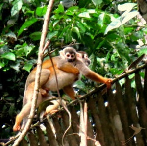 Observe monkeys and other animals in the Cuyabeno Reserve