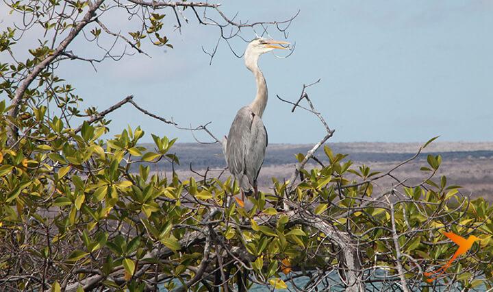 Heron Elizabeth Bay Galapagos