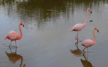 In a lagoon on Isabela island you can spot flamingos.