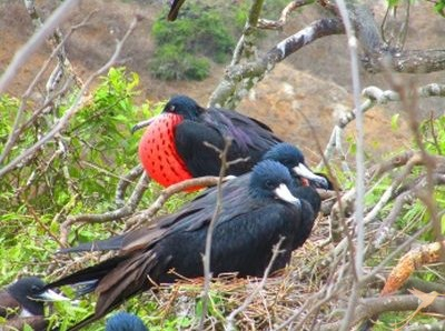 Frigate birds can be spottet on Isla de la plata