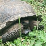 On Santa Cruz Island you can observe the Galapagos Tortoise in its natural habitat
