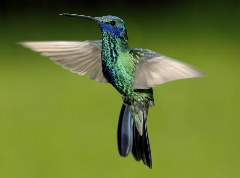 In the cloudforest region of Ecuador you can discover many hummingbird species