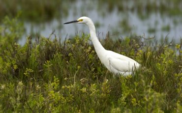 You can observe different species of herons during your birdwatchers tours
