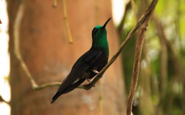 In the cloud forest region you can observe many hummingbird species.