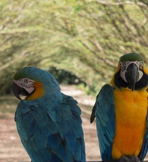 You can discover colorful parrots during your stay in the Cuyabeno Reserve.