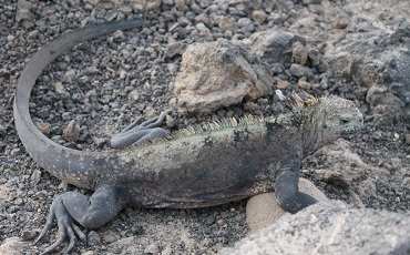 Land Iguanas can be observed on the Galapagos Islands