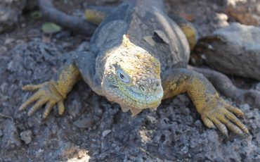 On the Galapagos Island South plaza you can observe land iguanas.