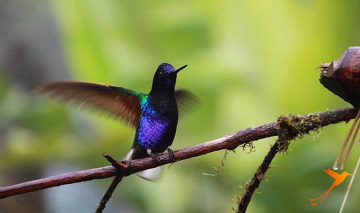 kolibri in the cloud forest near mashpi lodge