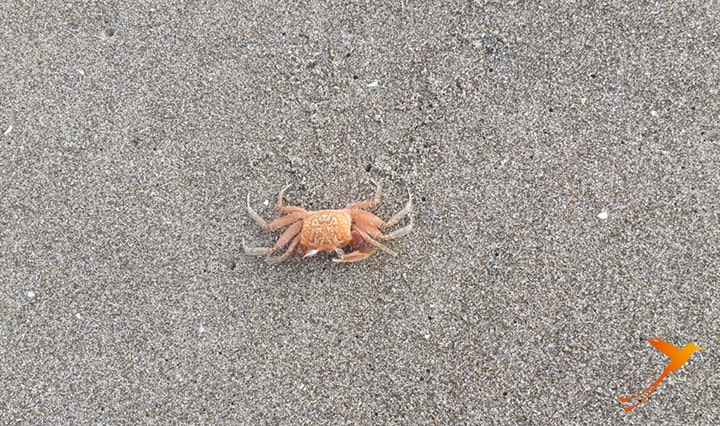 crab on beach of las tunas
