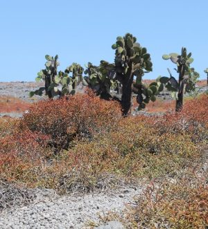 The landscape of the Galapagos Island South Plaza will surprise you.