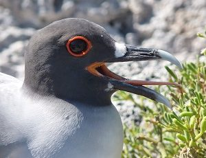 Lava Gulls are typical on the Galapagos Islands