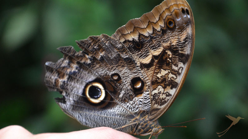 In Mindo and surroundings you can find many butterfly species