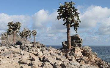 The opuntia landscape on the Galapagos Island Santa Fe is amazing.