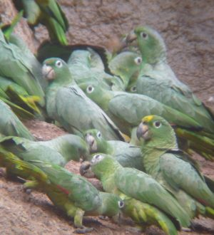 You can spot many parrots on a excursion to a parrot clay lick.