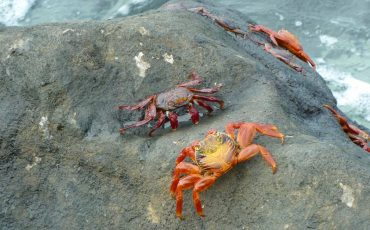 Your kids will be surprized by the colors of the crabs on Galapagos.